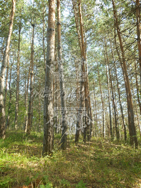 Pine Wood Photos